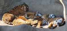 Malayan tigers sleeping at the Cincinnati Zoo