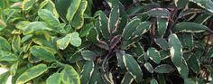 Gewürz-Salbei schneiden und vermehren - Kräuter, Pflanzen, Saisonale Arbeit, Tipps