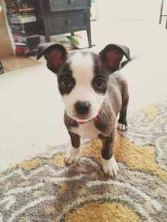 Sookie Ray Allison - (Boston Terrier/Jack Russell mix)....named after Sookie Stackhouse from True Blood