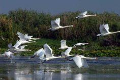 swans in Danube Delta