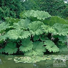 Giant Gunnera Plant | Plant Profile for Gunnera manicata - Giant Gunnera Perennial