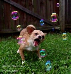 My chihuahua chasing bubbles!