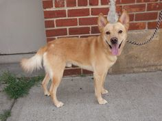 SAFE --- TO BE DESTROYED 7/10/14  Brooklyn Center    My name is KINO. My Animal ID # is A1005546.  I am a male tan and white germ shepherd mix. The shelter thinks I am about 7 YEARS old.   I came in the shelter as a STRAY on 07/03/2014 from NY 11417, owner surrender reason stated was STRAY.  https://www.facebook.com/photo.php?fbid=834188063260741&set=a.834188059927408.1073743202.152876678058553&type=3&theater