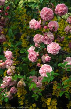 Roses in a Lake District Garden (by Joe Wainwright Photography) Lake District England. Beautiful Flowers Garden, Beautiful Roses, Beautiful Gardens, Pretty Roses, Romantic Roses, Rose Garden Design, Bouquet, Climbing Roses, Love Rose