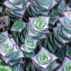 String of Buttons Succulent - Drought Tolerant - Sun Perennials
