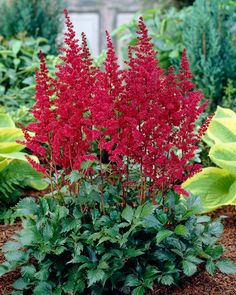 Astilbe Burgundy Red, Astilbe arendsii, False Spirea - Perennials from American Meadows Best Perennials, Shade Perennials, Flowers Perennials, Shade Plants, Flower Plants, Shade Garden, Garden Plants, White Flowers, Gardening
