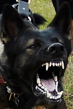 January 2013 Working Dog of the Month K-9 Vypir