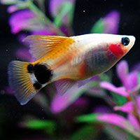 1000 images about 10 best freshwater aquarium fish for for Best community fish