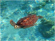 sea turtle endangered