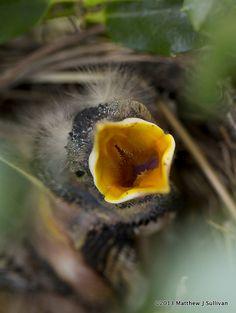 """Baby Robin """"FEEED MEEE"""""""