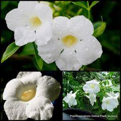 Pandorea Jasmine Lady Di x 6 plants Native Vines Climber Flower jasminoides $29.95