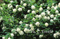 Viburnum opulus'Roseum' - Sneeuwbal / Gelderse roos - 300 cm - Bloeit groenwit 5/6 - Rode herfstkleur - Geen bessen - Goed als snijbloem of in brede heesterbordeer - Zeer winterhard. #herfstkleur