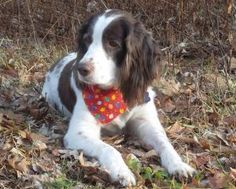 Sophie is an adoptable English Springer Spaniel Dog in Bradford, PA. Sophie is fostered in Bradford, PA Age: 9 years Weight: 54 pounds Color: Liver and White Type: Field Bred My name is Sophie. I live...