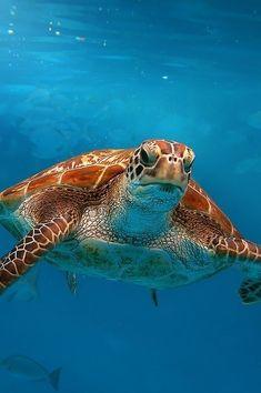 8258 Best Turtles images in 2019   Sea turtles, Turtles