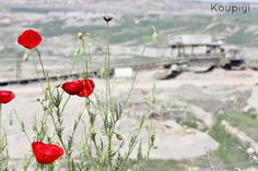 •visit my blog: koupiyi@tumblr.com 4 Unlucky Poppies,2013  red flowers,nature,poppy