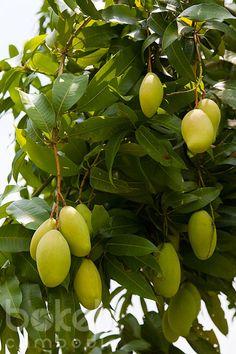 Mango fruits growing on a tree Mango Fruit, Mango Tree, Fruit And Veg, Fruits And Vegetables, Fresh Fruit, Exotic Fruit, Tropical Fruits, Exotic Plants, Fruit Plants