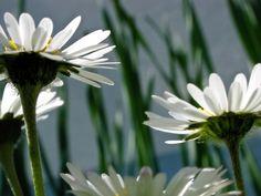 Flores, Flora, Margarida, Flor, Florescer, Branco