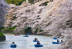 Cherry blossoms in Tokyo. When to go: late March or early April.