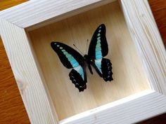 Real Graphium Sarpedon Sarpedon Framed - Taxidermy - Home Decoration - Collectibles