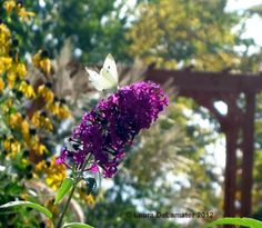 White Cabbage Butterfly loving on the Butterfly Bush.
