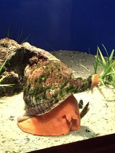 Horse Conch Fish Under The Sea, Conch, Aquarium, Horses, Goldfish Bowl, Aquarium Fish Tank, Aquarius, Shell, Horse