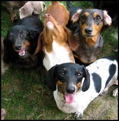 major cuteness... #doxie #cute #dachshund