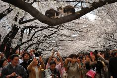 April 6, 2012. Shutter-happy cherry blossom viewers take pictures of two cats on a branch at Ueno Park in Tokyo.