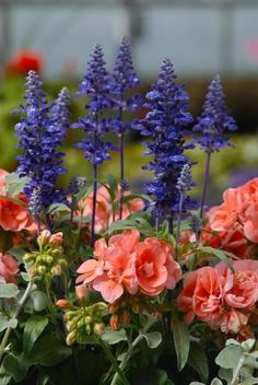 Blue salvia and pink geraniums nice combo for container by leah
