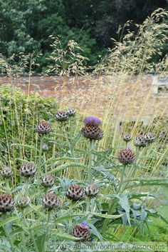 Cynara at Scampston Hall.  Piet Oudolf, garden designer