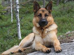 ...  known as the Alsatian, the German Shepherd Dog is loyal, protective, and intelligent. Description from pedegru.com. I searched for this on bing.com/images