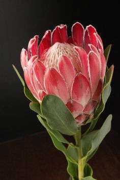 Exotic flowers – Home Decor Gardening Flowers Tropical Flowers, Botanical Flowers, Exotic Flowers, Amazing Flowers, Botanical Art, Red Flowers, Beautiful Flowers, Protea Art, Protea Flower