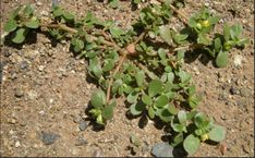 Portulaca oleracea, better known as Purslane, Stop Calling It Just A Weed, It's One Of The Best Plants To Boost Your Health (VIDEO) – Natives Today Portulaca Oleracea, Outdoor Survival Gear, Natural Health Remedies, Cool Plants, Native Plants, Omega 3, Superfood, Weed, Flora