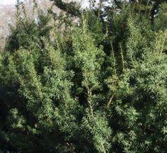 Taxus cuspidata - japaninmarjakuusi