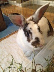 Ella is available a the new Ohio House Rabbit Adoption Center in Columbus OH!