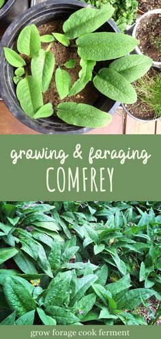 Comfrey is a useful plant that is easy to transplant and grow in your own backyard. It's a wonderful natural fertilizer and has many medicinal uses in an herbal medicine practice. Learn how to identify and forage for comfrey, and how to transplant comfrey roots to grow in your own backyard. Gardening For Beginners, Gardening Tips, Growing Herbs At Home, Kitchen Gardening, Starting A Garden, Wild Edibles, Soap Recipes, Medicinal Plants, Herbal Medicine