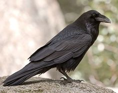 Raven © Chug Von Rospach, California, April 2007, http://www.flickr.com/photos/chuqui/2543797786/