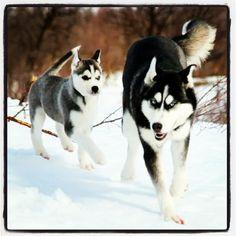 Storm og Arwen running in the snow. Cute Husky, Arwen, Handsome, Snow, Running, Dogs, Diy Dog, Siberian Huskies, Animales