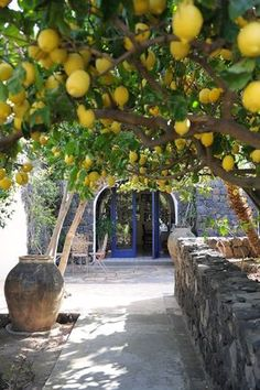 I wonder if the lemon tree I have will grow to such proportions like those pictured above- wow! My Meyers lemon tree had a rough start to. Citrus Trees, Fruit Trees, Trees To Plant, Lemon Tree Potted, Backyard Plants, Garden Landscaping, Beautiful Fruits, Beautiful Gardens, Landscape Design