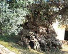 The Olive Tree of Vouves Crete -- The oldest known olive tree on Earth, with a tree ring age >2,000 years. Carbon daters have estimated it to be about 4,000 years old, and it still produces olives today.