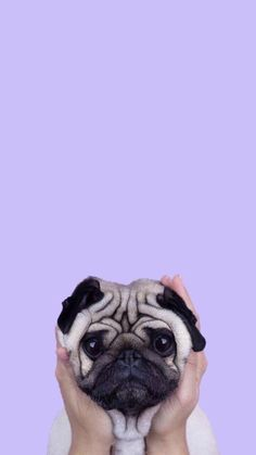 Cute-Puppy-Pug-iPhone-Wallpaper-iphoneswallpapers_com. - Cute Puppy Pug iPhone Wallpaper iphoneswallpapers_com. Cute Dog Wallpaper, Dog Wallpaper Iphone, Tier Wallpaper, Animal Wallpaper, Iphone Wallpapers, Seagrass Wallpaper, Paintable Wallpaper, Iphone Backgrounds, Colorful Wallpaper