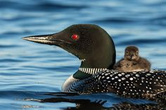 Photo of the week: Common Loons - BirdWatching
