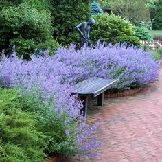 This drought proof hardy ground cover with dark lavender-blue flowers thrives in Zone The post Nepeta Walkers Low appeared first on Ideas Flowers. Back Gardens, Outdoor Gardens, Amazing Gardens, Beautiful Gardens, Beautiful Flowers, Sun Perennials, Garden Cottage, Flower Beds, Landscape Architecture