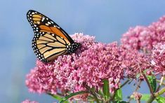 Save the Butterflies With DIY Milkweed Seed Bombs Butterfly Species, Butterfly Weed, Butterfly Plants, Monarch Butterfly, Butterfly Migration, Swamp Milkweed, Milkweed Plant, Clematis, Easy To Grow Flowers