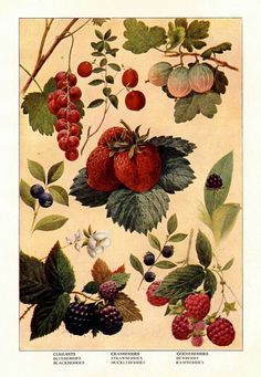 1911 berries original antique fruit & vegetable food lithograph print - currant blueberry cranberry strawberry raspberry blackberry