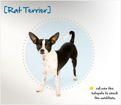 Did you know the Rat Terrier population plummeted with the availability of rodenticides, but its numbers rose again in the 1970s?  Read more about this breed by visiting Petplan pet insurance's Condition Checker!