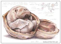 Walnut by Rob Foote