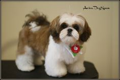 Dog | Shih Tzu Puppy Haircuts | cats and dogs picture