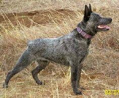 Stumpy Tail Cattle Dog, Australian Cattle Dog, UREKASTAR Australian Stumpy Tail Cattle Dogs, Dog Breed Info Center®