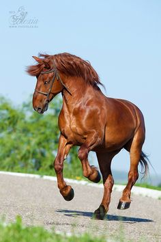 Ardennais Арден Автор: Alexia Khruscheva ← → 22 октября 2012, 09:04   просмотров: 3797, в любимых: 88    Читать далее: http://www.equestrian.ru/photo/breed/33?photoid=222359#ixzz3kp0dDLju