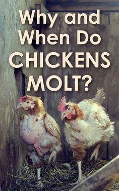 Chickens Molt #chickencooptips #ChickenCoopPlans
